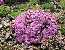 Saponaria 'Bressingham'