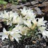 Edraianthus niveus