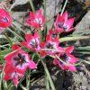 Tulipa humilis 'Little Beauty'
