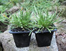 Edraianthus parnassicus