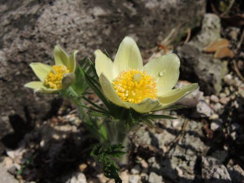 Pulsatilla patens ssp. flavescens