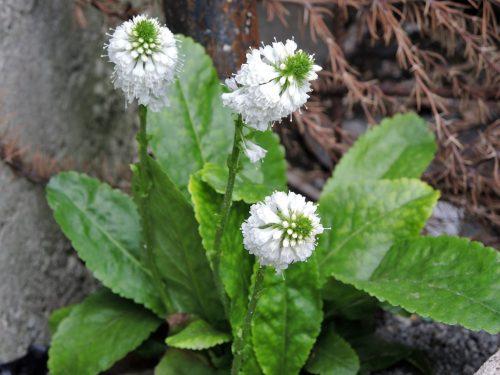 Wulfenia carinthiaca 'Alba'